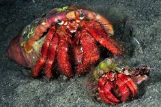 This is neat! A big crab and little crab! :)
