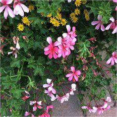 Pelargonium Peltatum (pelargonium peltatum): Pelargonium peltatum is a species…