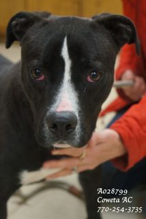 A-8 EXTREMELY URGENT! Terrier, Pointer Mix Male 10 months Medium •Weight: (No weight available) •ID: A028799 •Shelter Name: •Vaccinated, Heartworm NEGATIVE PLEASE CONTACT COWETA COUNTY ANIMAL CONTROL TO ADOPT THIS PET: 770-254-3735. The address is 91 Selt Road, Newnan, GA. This charming fella tries so very hard to be noticed when you walk by his kennel. He is on the outside part of the kennels and he seems to know that he has to try extra hard to be noticed.