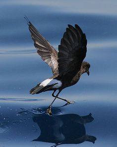 This is a Storm Petrel, named after Peter for walking on water.