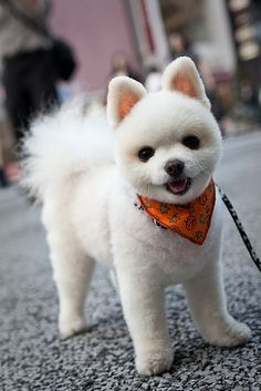 Pomeranian...<<<< Look at this sweet puffball of love!
