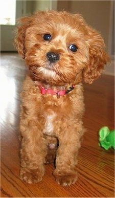 Charlie the Cavapoo (Cavalier King Charles Spaniel / Poodle hybrid) as a puppy (see adult pic above), photo courtesy of Ayers Pampered Pets