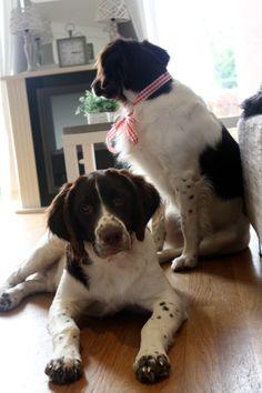 Klaas en Bob - Dutch patridge dogs!