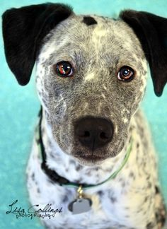 Meet Noel! Noel is a cattle dog mix, less than a year old and available through Pawtropolis & Helping Paws Rescue. Noel actually came to Helping Paws in some unusual circumstances. She and two other dogs were surrendered to animal control and she was adopo