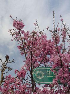 #Japan #sakura #Tokyo 3/24/2013