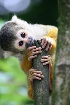 Top 5 Cute And Cuddly Exotic Pets - Squirrel Monkey: Top 5 Cute And Cuddly Exotic Pets Primates, Little Monkeys, Cute Little Animals, Animals And Pets, Funny Animals, Monkey See Monkey Do, Monkey Meat, Monkey Baby, Exotic Pets