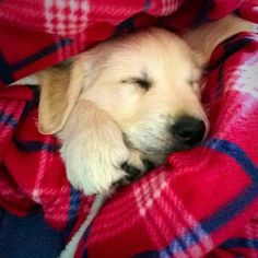 And when this cozy lady let everyone know that napping is an essential part of the day. | 19 Times Golden Retrievers Were The Champions Of Your Heart