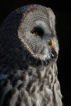 Linton Zoo: Great Grey Owl | Flickr - Photo Sharing!