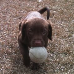 Our chocolate lab pup...hard to believe he was so little