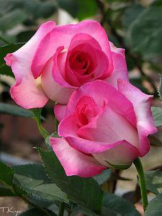 'Angel Rose'  | Hybrid Tea rose, @ T. Kiya