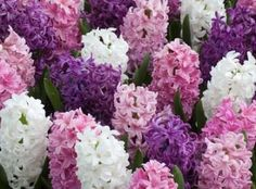 A gorgeous mix assembling various shades of pink and purple hyacinths to white hyacinths. Sweet-scented, Hyacinths can be planted outside in rows or as borders, and can also be grown inside in containers. Love Hyacinths...they're so beautiful and smells so good!!