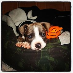 dog baby- cimarron uruguai