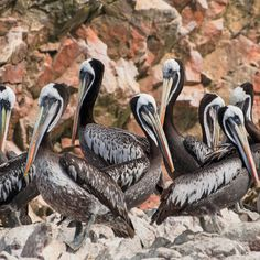 "Pelicans hold rocky court in the Ballestas Islands, which are considered the ""other"" Galapagos. Paracas, Peru. Coastalliving.com"