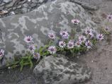 Purple Siberian Aster