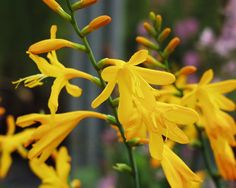 Crocosmia x cro. 'George Davison' Sprays of yellow flowers, July and August. Height Spread Moist, well-drained soil in sun or part shade.