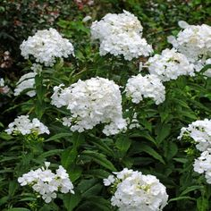 Phlox paniculata 'Mount Fuji' ('Fujiyama')Bloom Characteristics:  This plant is attractive to bees, butterflies and/or birds Flowers are fragrant Water Requirements:  Average Water Needs; Water regularly; do not overwater Where to Grow:  Unknown - Tell us Height:  24-36 in. (60-90 cm) Spacing:  15-18 in. (38-45 cm)