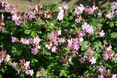 Geranium macrorrhizum 'Ingwersen's Variety' - ooievaarsbek - Bodembedekkers, Vaste planten | Maréchal 30 cm