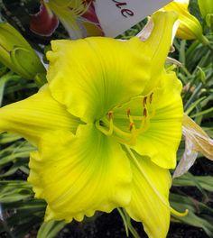 Daylily/Hemerocallis 'Working With Green' (Shooter, 2002).  Stunning lemon yellow above a fluorescent green throat.