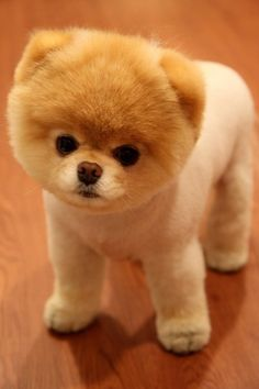 That is way too cute. This is a Pomeranian that's been shaved. Looks like a cute little stuffed dog.