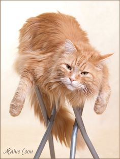 Portrait Maine Coon by Maine Coons, via Flickr