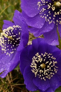 Blue Poppies (Mecono Flowers Garden Love