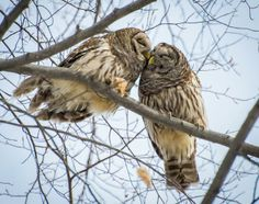 These lovey-dovey owls at Blacklick Woods found fame as the People's Choice Award winner at Metro Parks' nature print contest, 2013. (Photo Bradley Paskievitch)