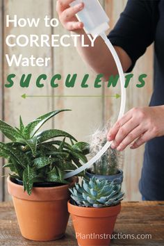 How to Water Succulents the Correct Way - Plant Instructions