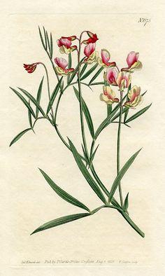 Particoloured Bitter-Vetch (Orobus varius)   Curtis's Botanical Magazine (England , 1803)