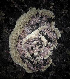 Kallioruusu