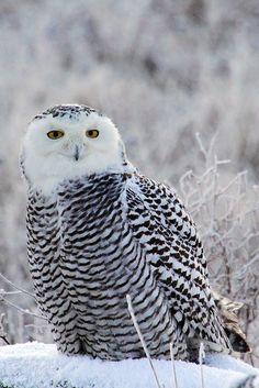 Snowy Owl by DragonSpeed