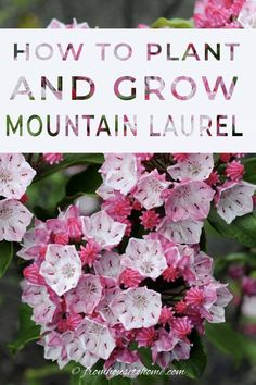 These tips on growing Mountain Laurel are the BEST!! I love that this shade loving shrub (Kalmia latifolia) is evergreen and has beautiful flowers. Now that I know how to care for it, I'm definitely adding one to my shade garden. #fromhousetohome #gardeningtips #shadeplants #gardenideas #mountainlaurel #plants Shade Loving Shrubs, Shade Shrubs, Shade Perennials, Shade Plants, Plants Under Trees, Trees To Plant, Garden Shrubs, Shade Garden, Garden Plants