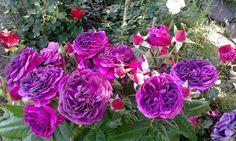 Purple Lodge 'Palais Biron' Rose Photo