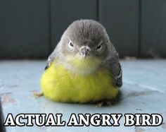 actual angry bird