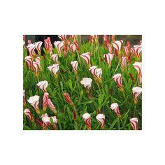 Šťavel dvoubarevný - Oxalis versicolor - cibuloviny - 1 Ks