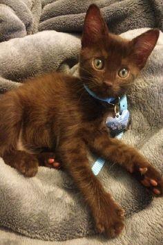 ~ Brown velvet kitty ~