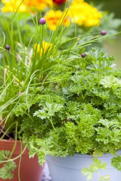 Herbs: Chives (Allium tuberosum) and parsley (Petroselinum crispum) both grow well in containers and can be placed on a bright windowsill over winter for fresh harvests.