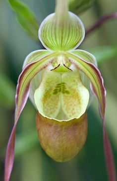 Phragmipedium  - Lady Slipper Orchid