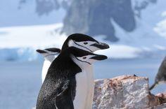 Manchot à jugulaire - Pygoscelis antarcticus