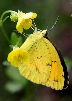 Vlinder geel-zwart