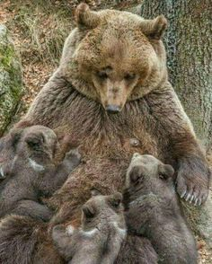 So gentle with her babies...but ferocious in protecting them! Beautiful! d5d89c5a294d
