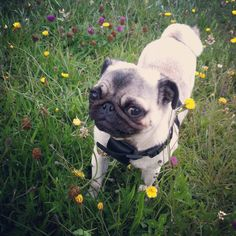Sly pug is gonna eat *all* these flowers, and you can't stop him