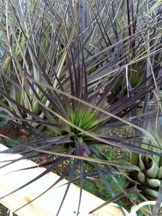 Tillandsia fasciculata giant