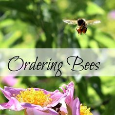 Some tips for ordering bees for your homestead and advice on becoming a beekeeper. | From http://www.oakhillhomestead.com #beekeepingtips