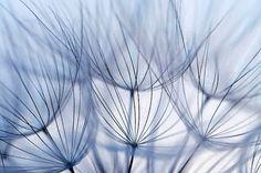 """BOGO Holiday SALE! - Dandelion Photography Seeds Close-up Soft Summer Light Fine Detail Home Decor """"Dandelion in Blue"""" 8x12 Print"""