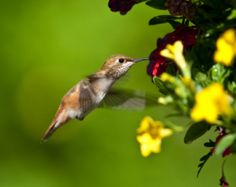 Making a Hummingbird Garden, Hummingbird feeding from a yellow flower.