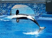 Proposal Seeks To End SeaWorld Orca Shows In California