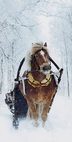 Finn horses; according to my grandpa they were real heroes of the war and we wouldn't have won without them. Vive la Finlande!