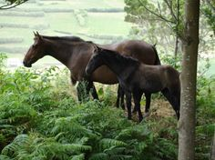 Bay Lusitano mare Reeleita and foal in Portugal