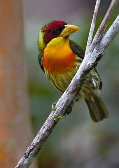 The Lemon-throated Barbet is a species of bird in the Capitonidae family. It is found in humid lowland forest in the western Amazon Basin in Colombia, Ecuador, Peru, Bolivia and Brazil.