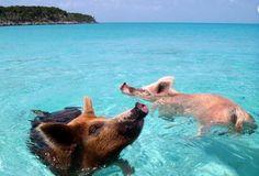 Major Cay, l'isola dei maiali